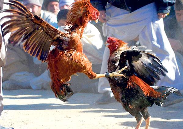 Ilustrasi Sabung Ayam