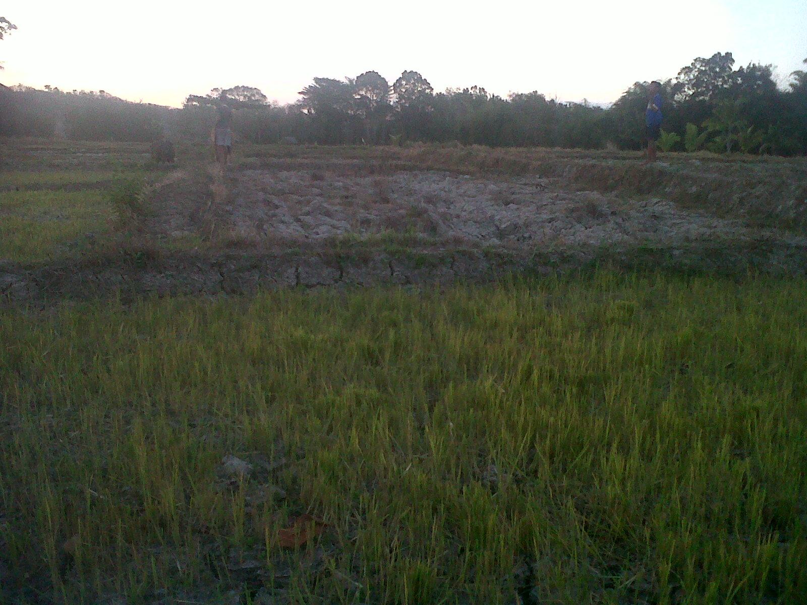 Inilah lahan sawah warga Belu yang gagal tanam.