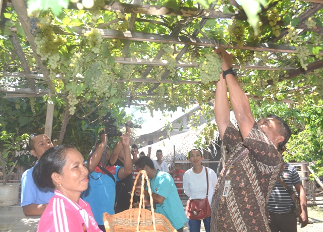 Kadis Tanbun Belu panen buah anggur di Silawan, Jumat kemarin,