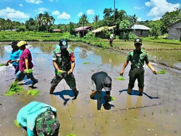 Jajaran Koramil Betun bersama petani sedang menanam padi.