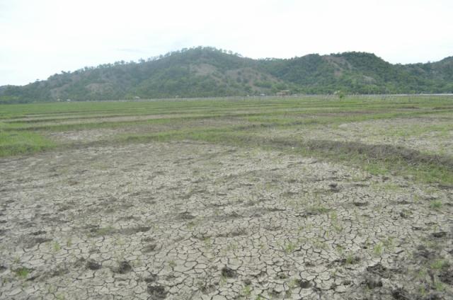 Inilah sawah yang kering di Fatuketi, Belu, NTT.