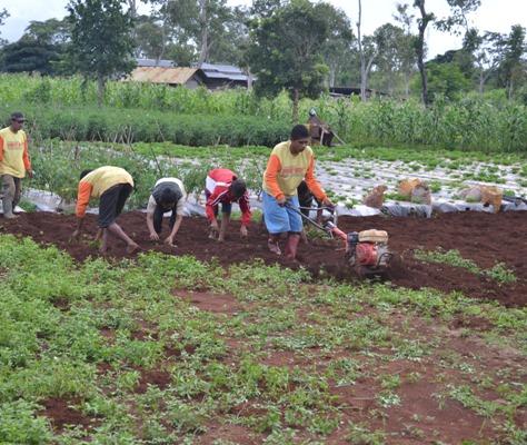 Kelompok Tani Binaan Plan Internasional di TTS, sedang mengelolah lahan pertanian.