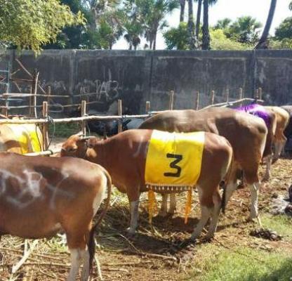 Inilah sapi-sapi yang diikutkan dalam kontes sapi Kota Kupang, 2016.