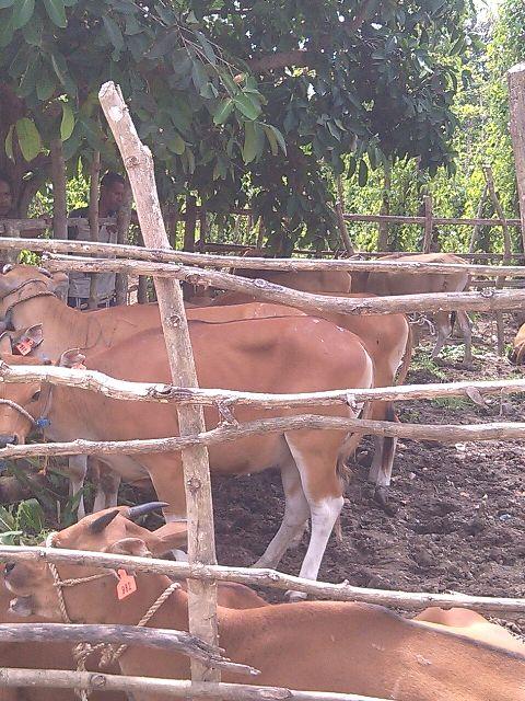 Inilah sapi bantuan Pemprov NTT untuk kelompok tani Tunas Harapan, Bakiruk.