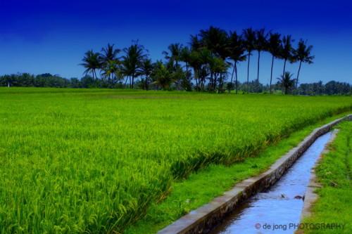 Ilustrasi irigasi dan padi.