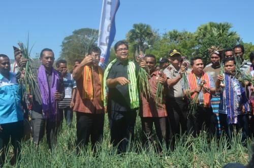 Panen simbolis bawang merah tuk-tuk di Fatuketi, Belu.