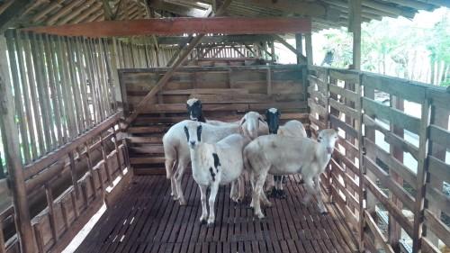 Peternakan domba
