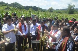 Mentan didampingi anggota DPD, Gubernur NTT, Bupati Belu dan Malaka panen jagung.