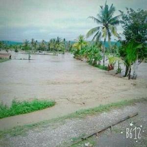 Banjir Benenain hancurkan padi milik warga.